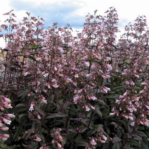 Tower Perennial Gardens: Penstemon Dark Towers