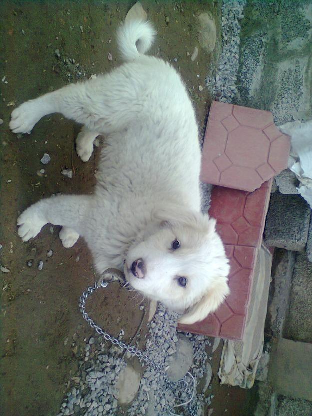 Russian Sheepdog for Sale | English Russian Shepherd Dog For
