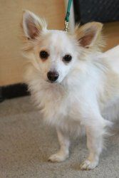 Adopt Chewie On Petfinder Papillon Dog Cute Animals Animals