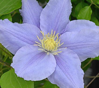 Clematis Zara™ Boulevard® - White Flower Farm   Gardening ...