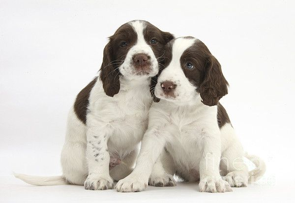 Working English Springer Spaniel Puppies By Mark Taylor Springer