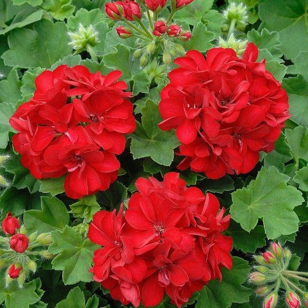 Trailing Geranium Dark Red. Ivy Leaf Geranium plants make ...