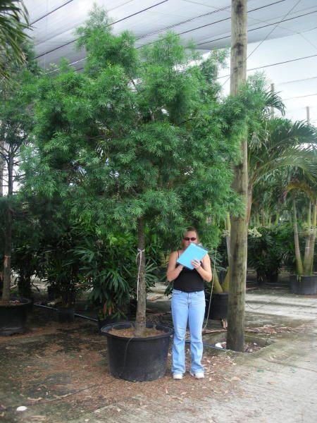 Podocarpus Gracilior Standard 12 Standard Pot Size 25 23