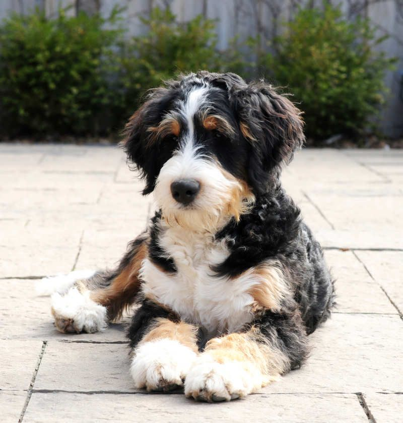 Standard Bernedoodles Dog Breeds Puppies Hypoallergenic Dogs