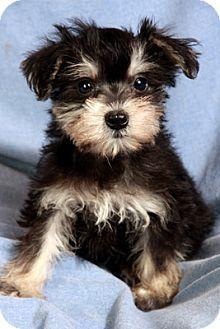 maltese schnauzer mix puppies Google Search Puppies