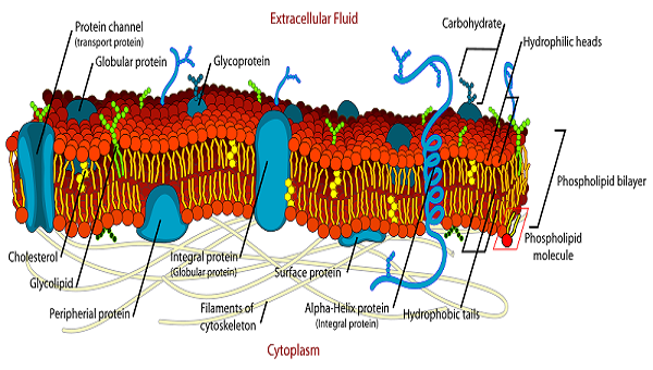 A diagram of a cell membrane. Kids Science