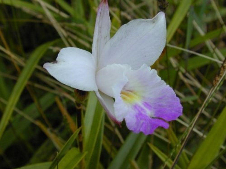 hawaiian bamboo orchid roots zc by discount hawaiian gifts