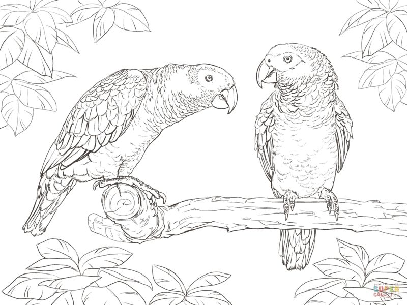 African Grey Parrots Coloring Pages Free To Print Letscolorit Com African Grey Parrot Bird Coloring Pages Animal Coloring Pages
