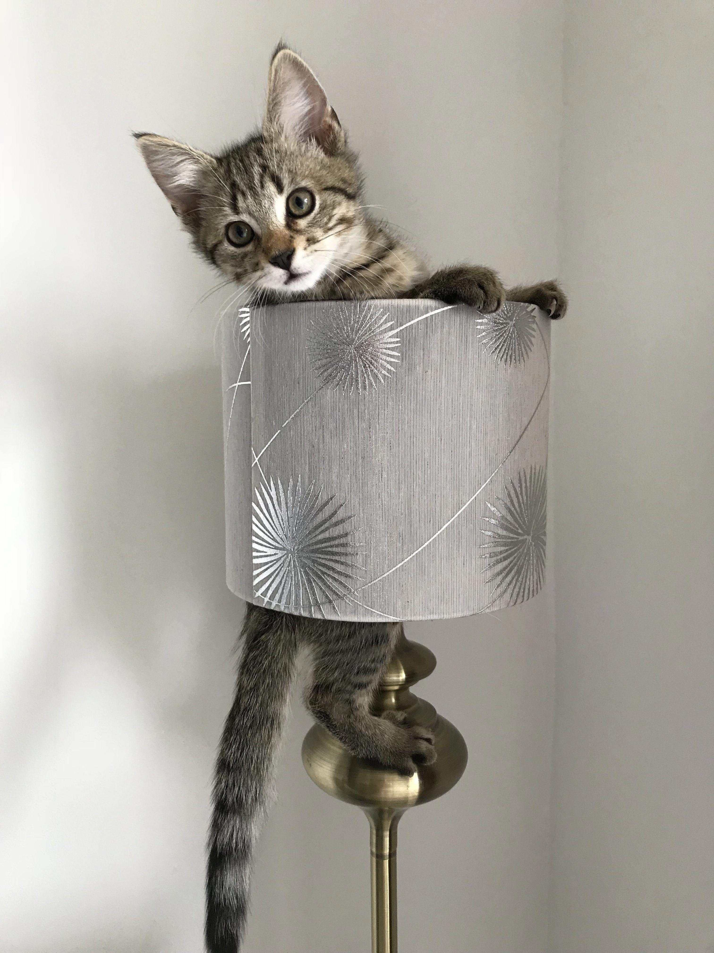 Modern Cat S Photo Contest Tiki Catsandkittens Katzen Schonen Katzen Bezaubernde Katzchen