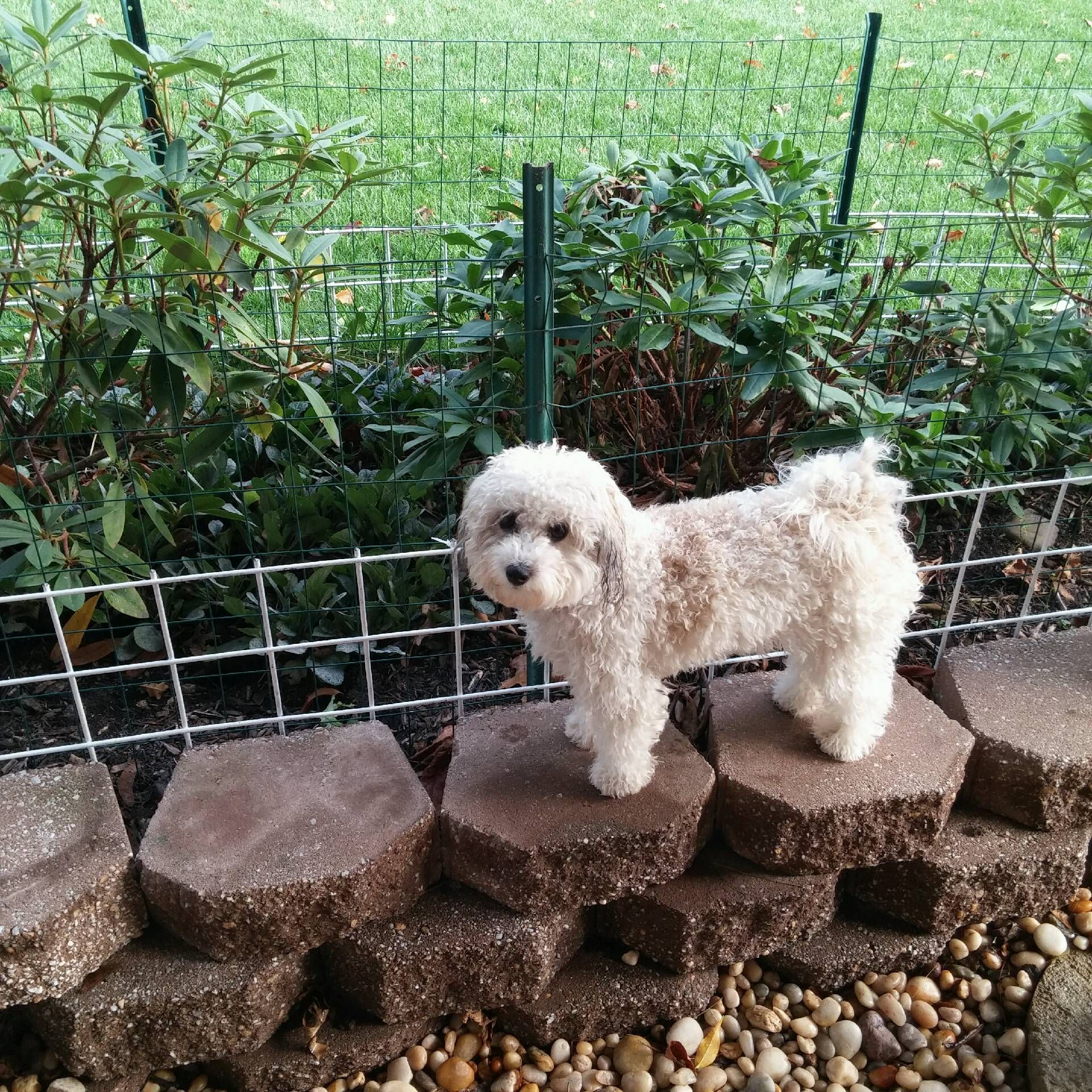 So Cute Dogs Animals Poodle