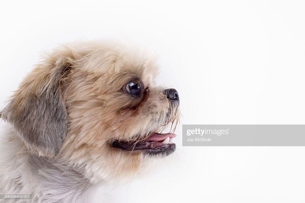 Shih Tzu Side View Dog Eyes Dogs Shih Tzu