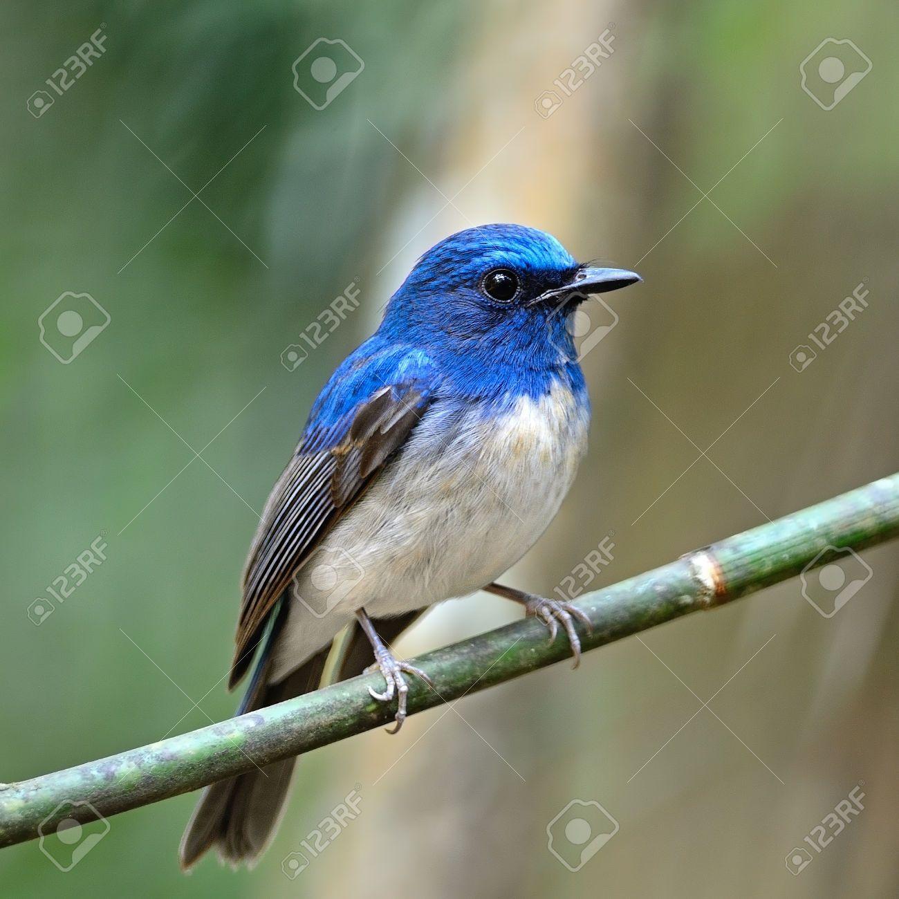 27118724-Variopinto-uccello-blu-Hainan-Blu-pigliamosche-Cyornis-hainana-in-piedi-su-un-ramo-profilo-del-seno--Archivio-Fotografico.jpg (1300×1300)