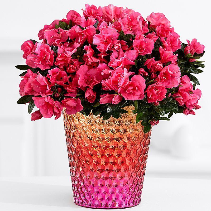 Hot Pink Azalea Plant Pink Azaleas Flower Pots Ftd Flowers