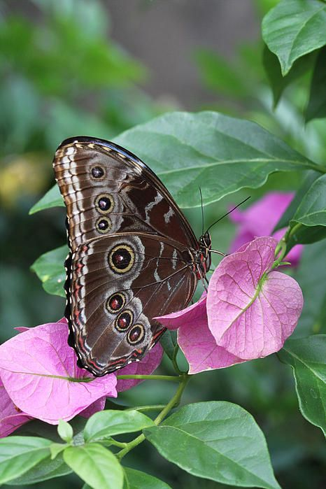 Blue Morpho Butterfly (this is what the undersides of the wings look like, the top-sides show up as a brilliant blue)