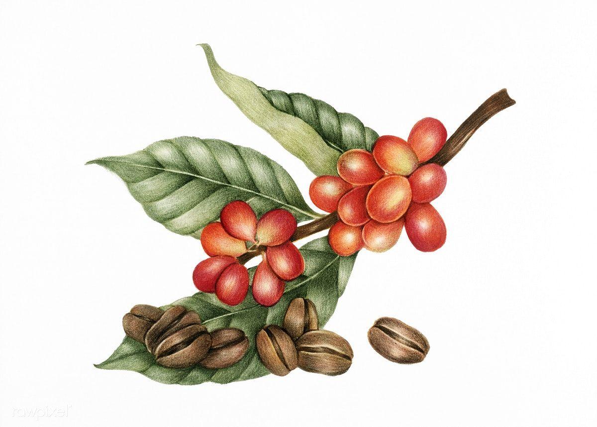 Download premium illustration of Illustration of coffee