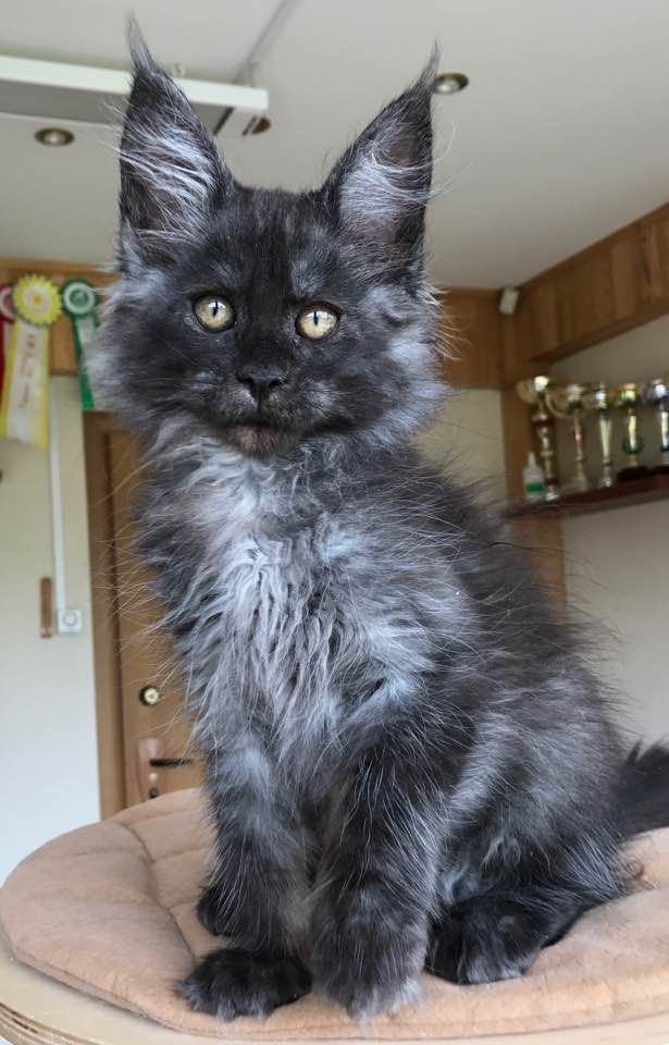 20 Most Popular Long Haired Cat Breeds Curiosity Killed The