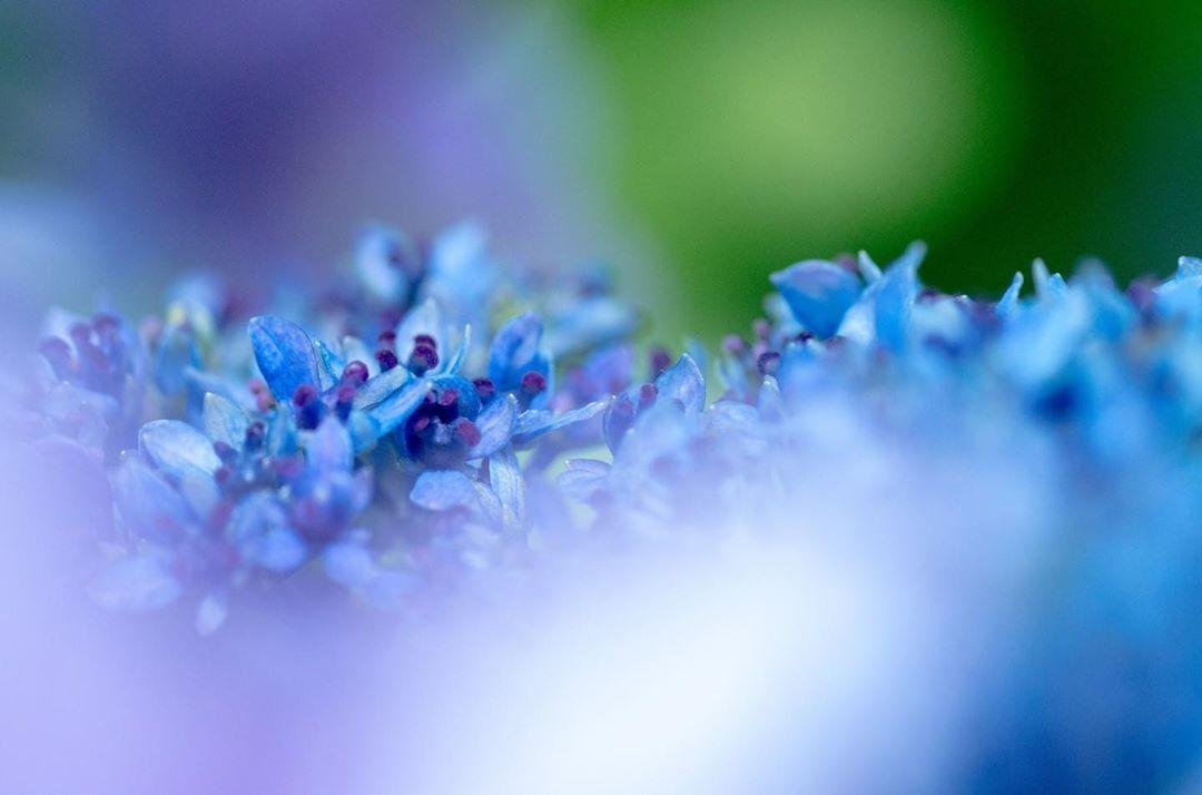アジサイの花。紫陽花というと、どうしてもあの煌びやかな装飾花のイメージが強いですが、逆に額紫陽花は名前の割に真花の方が目立っている気がします。とっても素敵なので、見かけた際は是非あの小さな花をじっくり見てみてください。 #hydrangea #green #blue #spring #summer #flower #flowers #flowerstagram #flowergift #flowerlife #flowerphoto #flower_beauties_ #flower_daily #flower_perfection #flower_shotz #flower_special_ #nature #naturephotography #naturelovers #photo #photography #may #tamron #pentax #ricoh #東京カメラ部 #tokyocameraclub #はなまっぷ