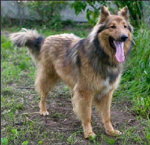Shollie #German #Shepherd / #Collie #Hybrid #Dogs on Pinterest ...