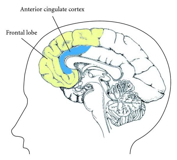 anterior cingulate cortex - Google Search … | ACC | Pinte…