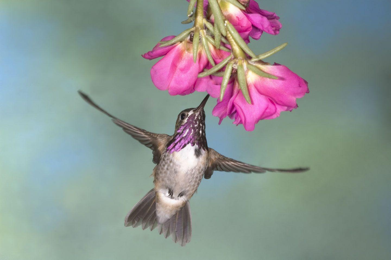 Gerlach Nature Photography Hummingbird Workshop Page Hummingbird Hummingbird Pictures Hummingbird Photos