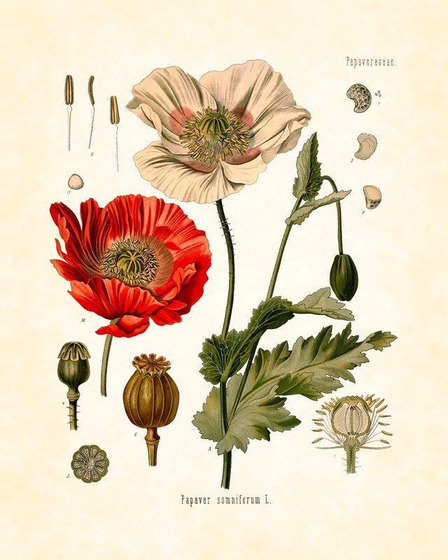 Poppies Papaver Somniferum  Antique Botanical Art Print  8x10 Series Kohler Medicinal Plants 1887 Home Decor Wall Hanging Garden. $10.00, via Etsy.