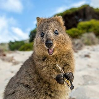 Look at this quokka! He's so damn happy! He won't kill you.   21 Photos That Prove Aussie Animals Aren't All Batshit Insane