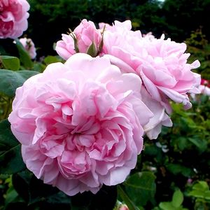 'Fantin Latour' - the exquisite rose named for the famous French painter