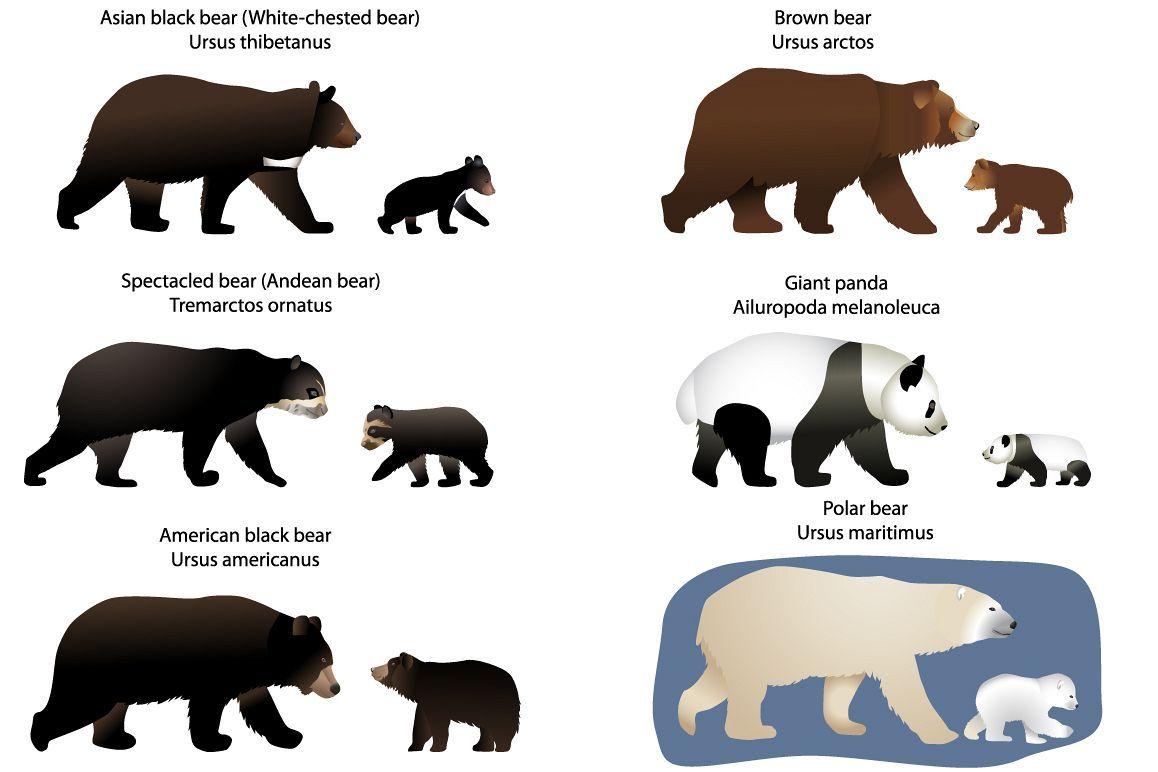 Bears And Bear Cubs 54976 Illustrations Design Bundles In 2021 Bear Cubs American Black Bear Kodiak Bear
