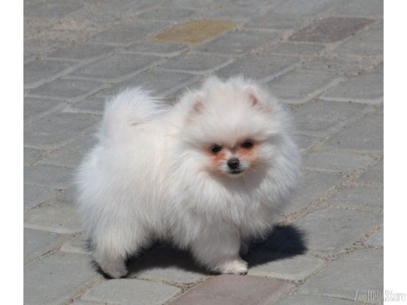 Pomeranian For Sale Near Me Pomeranian For Sale Maryland