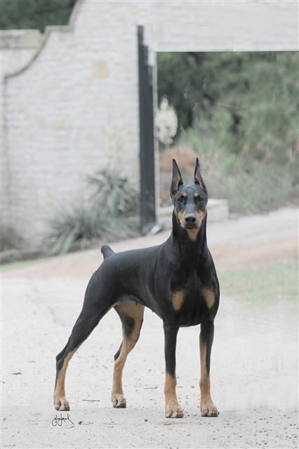 Perfect Three Quarter Shot Doberman Doberman Breeders Doberman