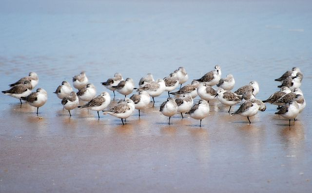 Shore birds - Sanderlings - they look like they are planted in the beach.     Take your blog to millions if not billions of readers in just 3 steps. These three steps will make your blog go viral and more traffic to your site!
