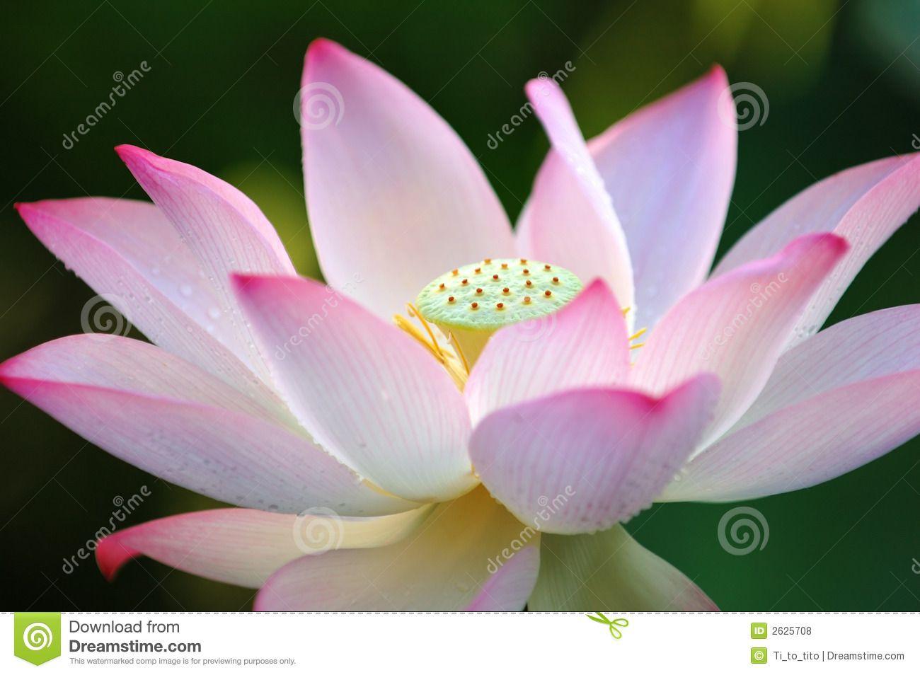 Lotus Flower Flor De Loto 2625708g Ideas To Paint Pinterest