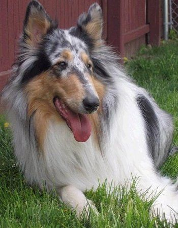 Collie Dog Breed Information And Pictures Sheep Dog Puppy Collie Breeds Rough Collie