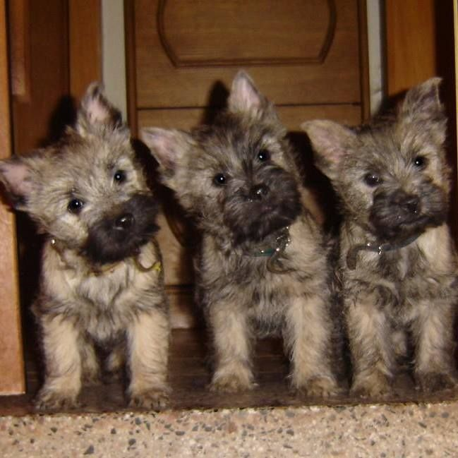 Something sure got the attention of these Cairn terrier pups!