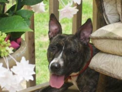 Abby Kid Approved Dog American Staffordshire Terrier
