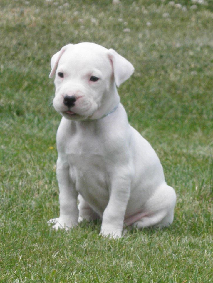 Dogo Argentino Dog Argentino American Bulldog Puppies Puppies