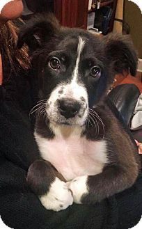 Hagerstown Md Border Collie Jack Russell Terrier Mix Meet Demi