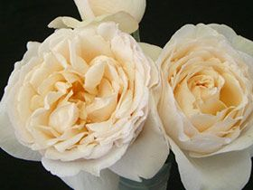 the creamy classic cream piaget garden rose is a champagne peony shaped flower with fragrance - Cream Garden Rose