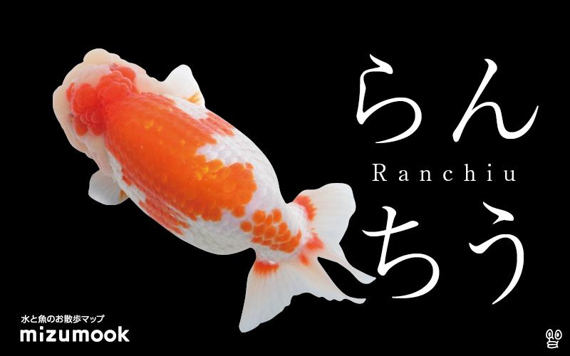 らんちゅうの飼い方 金魚 飼育 えさ 病気 種類 金魚 飼育 金魚 肉瘤