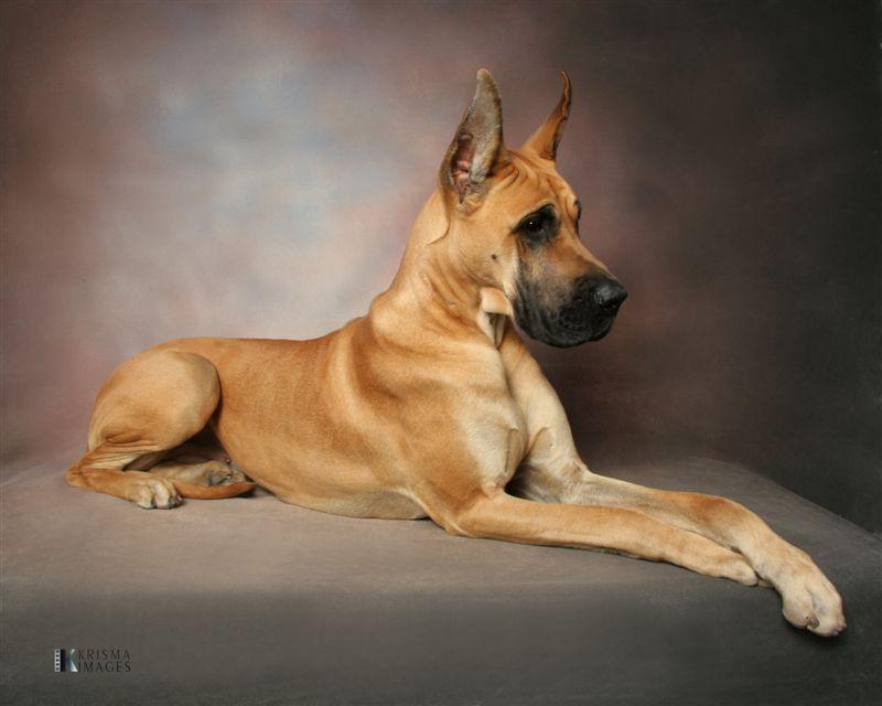 Working Great Dane Dog Owned By Iowa Dane Great Danes Great