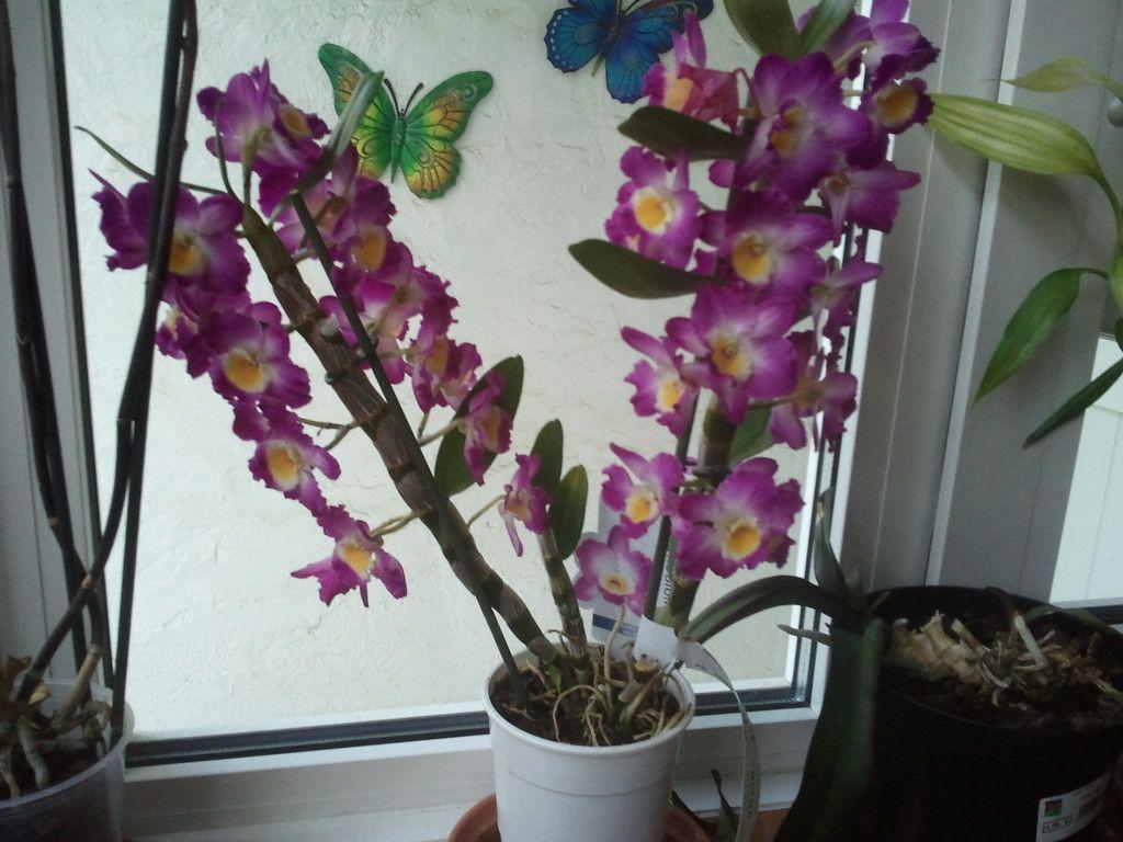 Dendrobium nobile orquidea dendrobium pinterest - Como cuidar orquideas en maceta ...