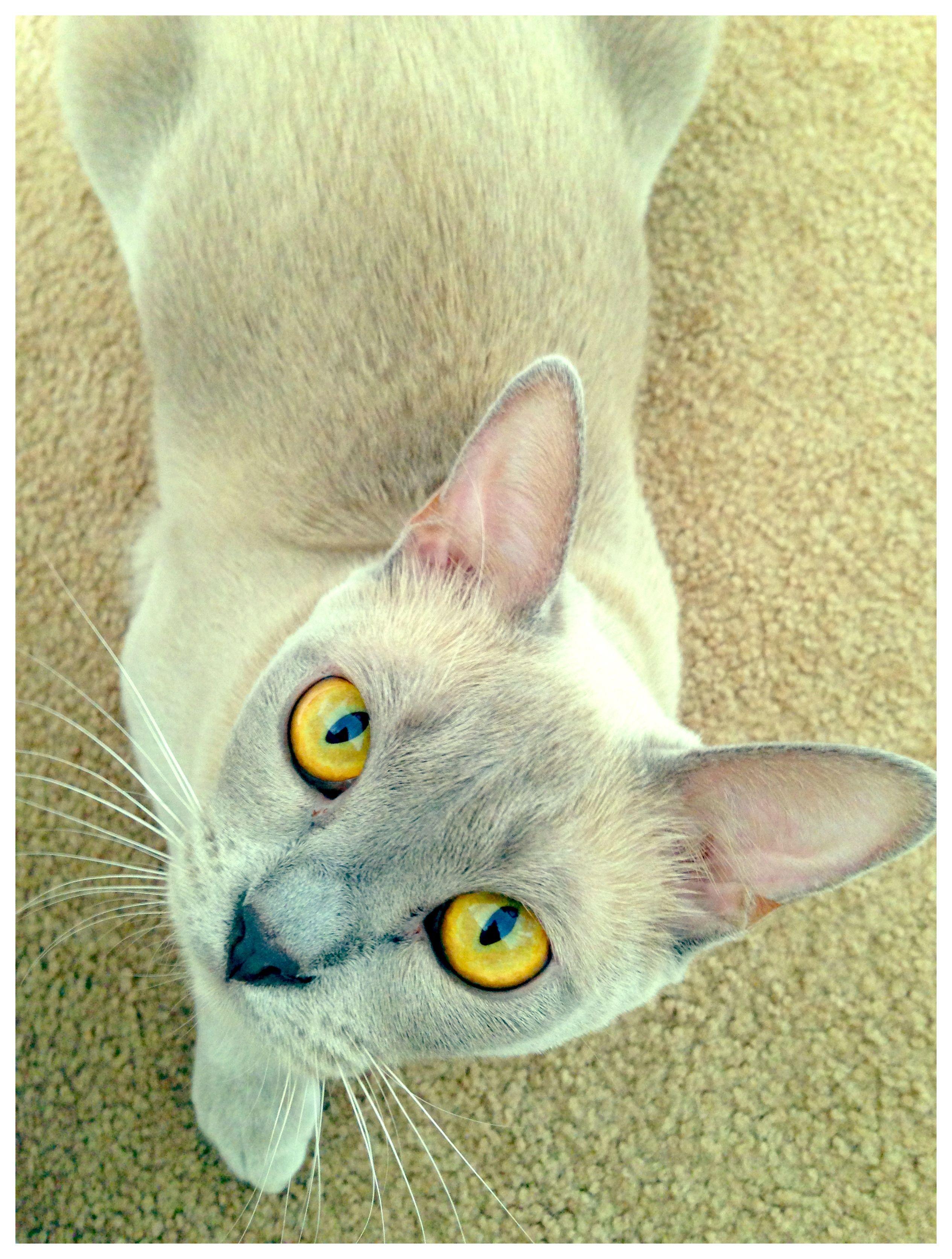 Bo 1yr Lilac Burmese Kitten Burmese Cat