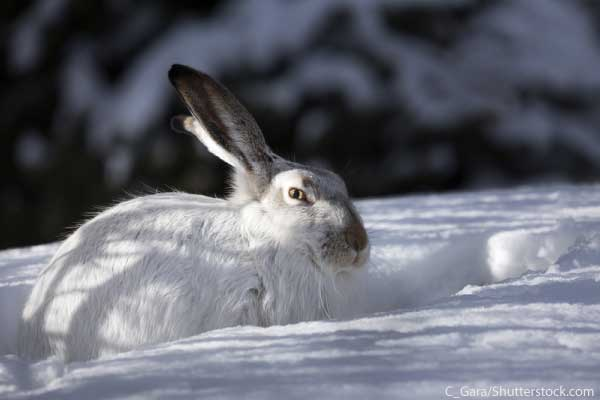 Arctic Hare Facts For Kids Information, Pictures & Video