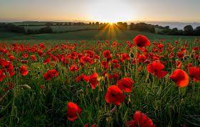Bildergebnis Fur Mohnblumen Bilder Kostenlos Flower Field Poppies Field Wallpaper