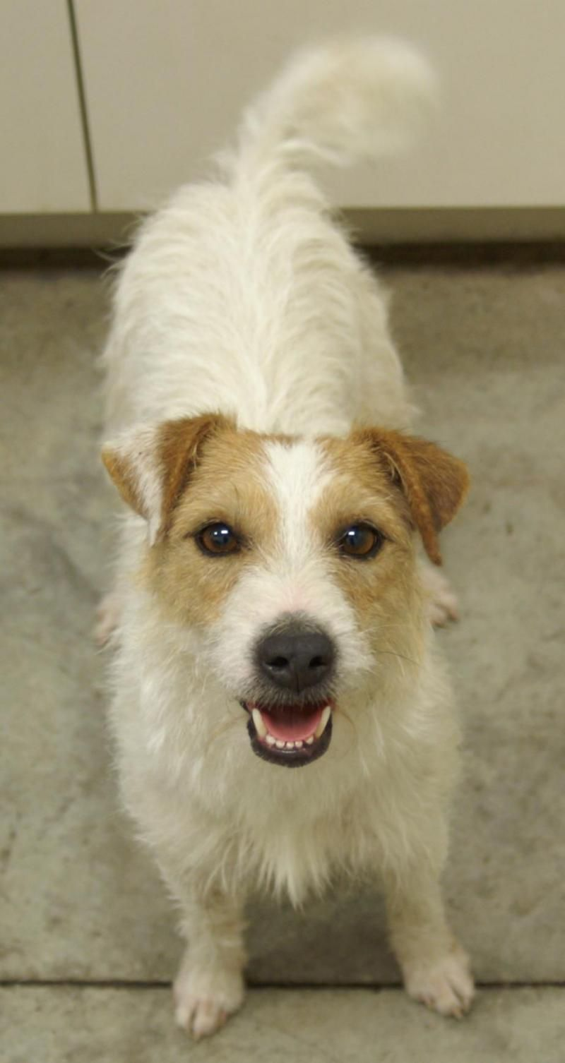 Adopt Twinkie On Jack Russell Dogs Russell Terrier Parson