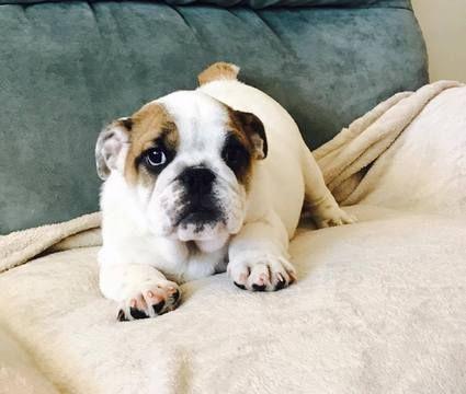 Bulldog Puppy For Sale In Charleston Sc Adn 23000 On Puppyfinder