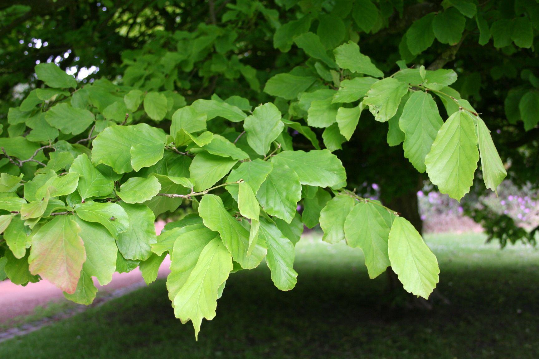Ijzerhout parrotia persica a m planten verlanglijstje