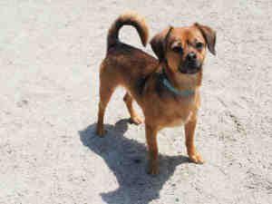 Sudbury Ma Chihuahua Meet Apollo A Pet For Adoption Pet
