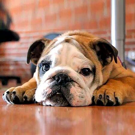 English Bulldog Sleeping Animals English Bulldog Pictures