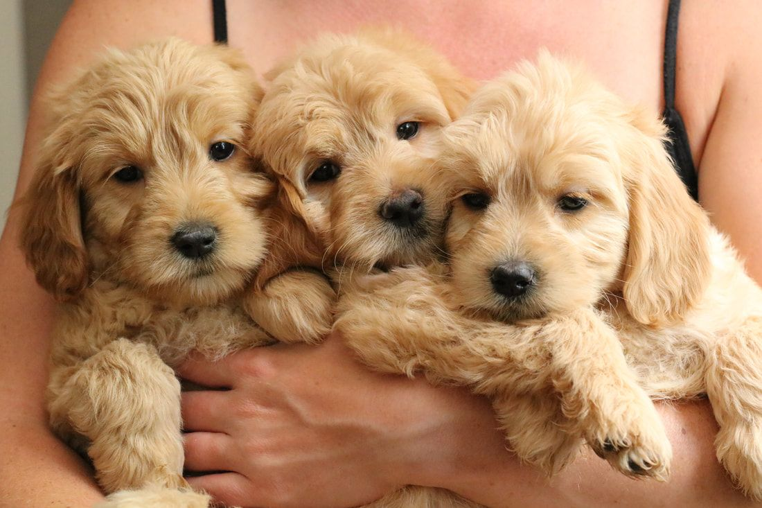 Goldendoodle Puppies By River Valley Doodles Of Ny Goldendoodle Puppy Goldendoodle Mini Goldendoodle Puppies